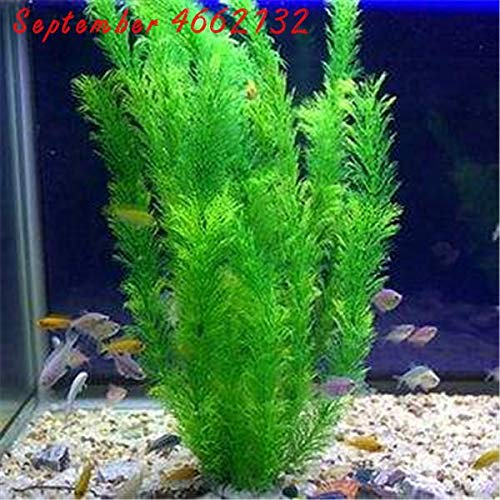 Hot kopen 500 stuks Aquarium Plant Bonsai Mixed Water Grassen Random aquatische Plant Grass Indoor Verfraaiing Bonsai: 2