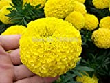 ShopMeeko Seeds:100/bag Yellow African Marigold French Marigold Tagetes Erecta Flower Plant Tagetes Flower for Home Garden Plant
