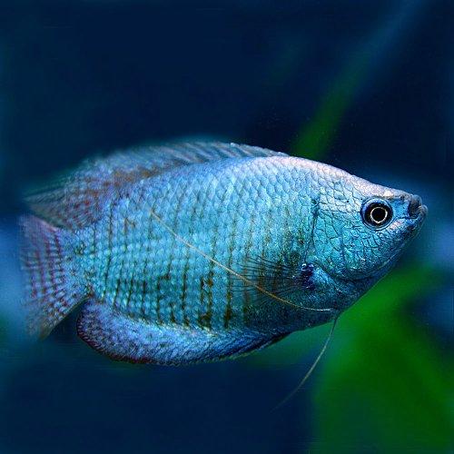 (熱帯魚)コバルトドワーフグラミー (約5cm)<1ペア>[生体]