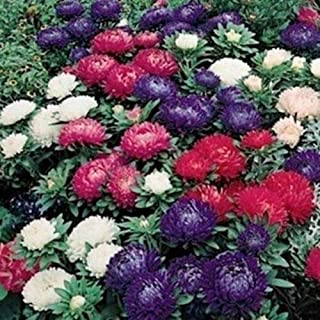 Aster -Milady Mix - 50 Seeds-