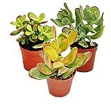 Set de 3 Plantas Crasas en Maceta de 5cm Kit Ahorro Plantas Naturales
