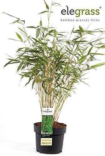 "Horstbildender Bambus\""Pingwu\"" (Fargesia robusta) - Winterharter Bambus-Pflanze ohne Ausläufer"