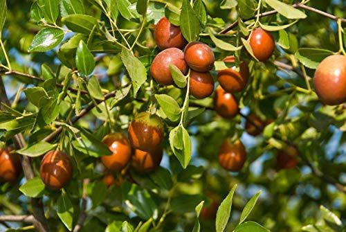 Las semillas de azufaifo árbol suculento maceta de bonsái o árbol perenne del Pyrus planta semillas para jardín Patio 5PCS