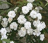 'Guirlande d' Amour' -R-, öfterblühende Rambler-Rose, ADR-Rose im Rosen-Container