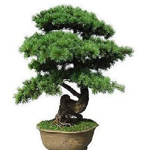 50 Semillas de Pino Negro Japones (pinus Thunbergii)