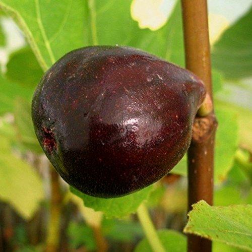 Müllers Grüner Garten Shop Ronde de Bordeaux, stark wachsende Fruchtfeige, dunkle Früchte Pflanze im 2-3 Liter Topf ca .60-100 cm