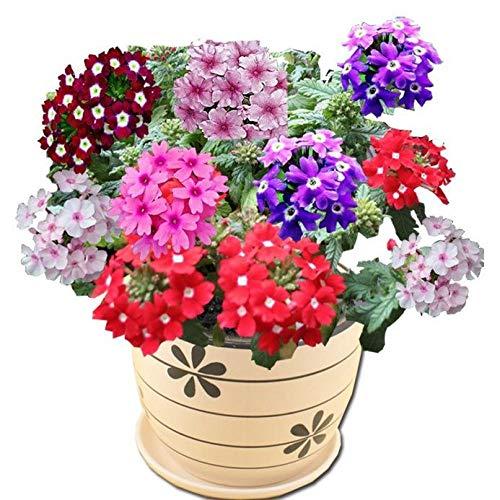 Lankfun Semillas de Flores perennes,Secuencia de la habitación del balcón del Patio de la Hortensia de Cinco Colores de la Cereza de la Belleza-Rojo Cereza,perennes Semillas de Flores