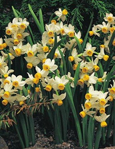 100 Narzissen mehrblütig Canaliculatus Blumenzwiebeln Narcissus