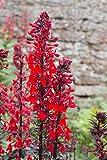 *Lobelia cardinalis 100 Samen, Kardinals-Lobelie, Scharlachrote Lobelie - absolut winterhart