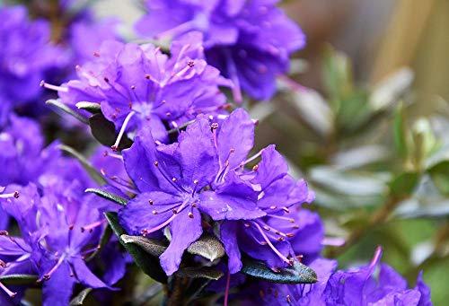 Rhododendron impeditum 25 Stück Azurika Zwerg-Rhododendron T11 Pflanzware Hecke