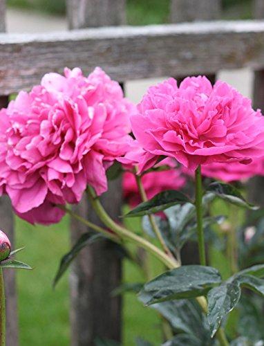 Sarah Bernhardt Garden Peony - Pink Paeonia (3 Roots)