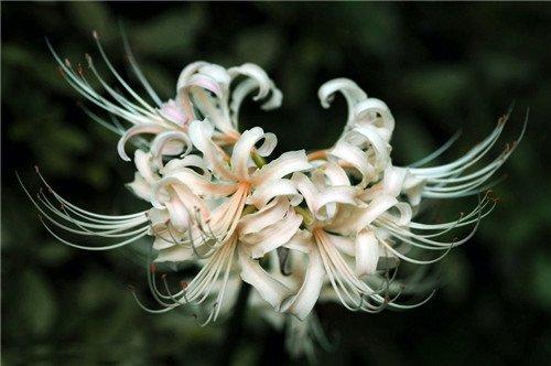 Lycoris Radiata Ampoules, 16 couleurs disponibles Bana Ampoules plantes en pot Bonsai Indoor Garden (pas de graines) - 2 pcs, envoyé des graines comme cadeau