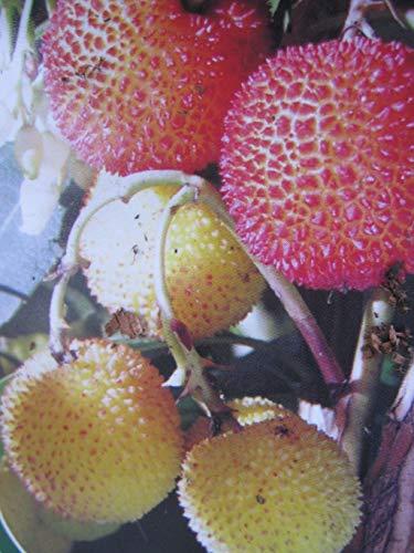 Arbutus unedo Compacta - Kompakter Erdbeerbaum