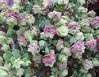 25+ Ornamental Oregano Round-leaved Origanum Rotundifolia Seeds