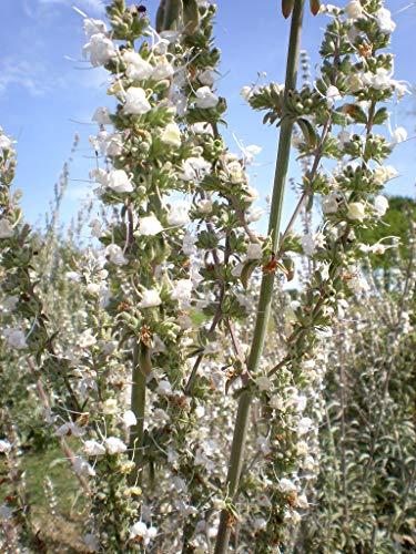 Asklepios-seeds® - Salvia apiana, 150 Samen, Indianischer RäucherSalbei, Weißer Salbei white sage