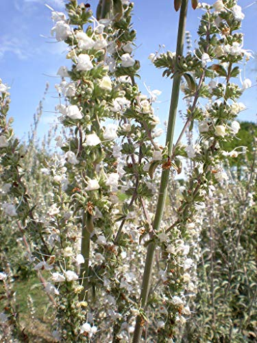 Asklepios-seeds® - 200 Semillas de Salvia apiana salvia blanca