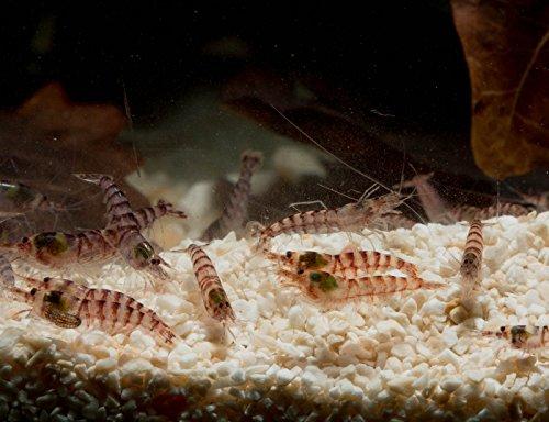Purple Zebra Shrimp - Potamalpheops sp, 10 Stück - für Brackwasser Aquarium