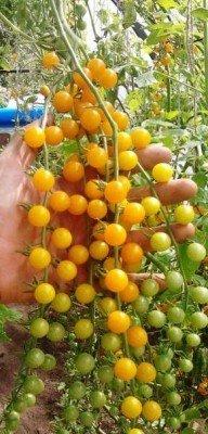 Mini-Kirschtomate - Cherry-Tomate - Tomate Currant Gold Rush - 10 Samen