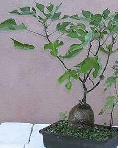Stk - 50x Broussonetia papyrifera Papiermaulbeerbaum Pflanzen - Samen B809 - Seeds Plants Shop Samenbank Pfullingen Patrik Ipsa