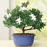 100pcs de jasmin Jasminiodes de Cape Gardenia, arbuste blanc, graines de fleurs