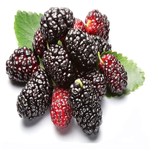 Graines 10pcs Noir Mulberry Fruit Cour Jardin des plantes