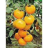 Bloom Green Co. BELLFARM Bonsai Heirloom Orgánico Amarillo Truss Tomate Frutas de tamaño mediano Sabroso Jugoso Dulce de Alta Germinación -20pcs / pack
