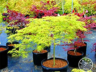 Famicom - Japanese Red Maple Bonsai Cheap Plant, Mini Garden, 20 Plantas 11 Kinds Mixed, Very Beautiful Indoor,#o7lca(Seed) - by Abuldahi