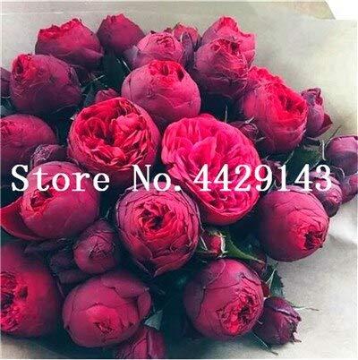 SVI 10 piezas frescas peonía semillas de flores para plantar Rojo