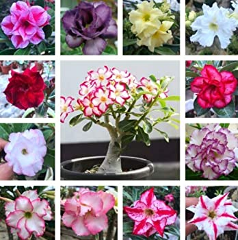 Adenium Obesum Desert Rose Mixed Varieties 1000 Seeds 12 Type