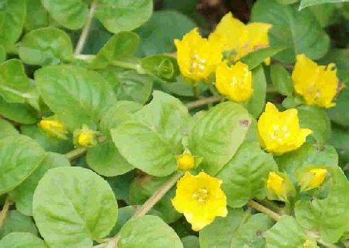 15 Bunde gelbes Pfennigkraut, Lysimachia nummularia, Teich