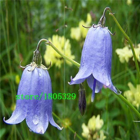 Bloom Green Co. GGG 50 pcs Lily of the Valley flower seeds, bell orchid seeds, rich aroma,bonsai flower seed, so cute and beautiful: Black