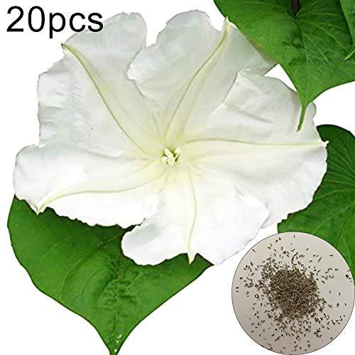 ZqiroLt 20 Stück White Moonflower Vine Blumensamen Gartenzaun Zierpflanze Dekor Dach, Einfach Zu Pflanzen, Pflanzensamen, Gartenarbeit, Bonsai, Balkon, Garten Mondblumenkerne