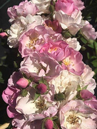 Ramblerrose Blush Rambler im 7 Liter Rosentopf