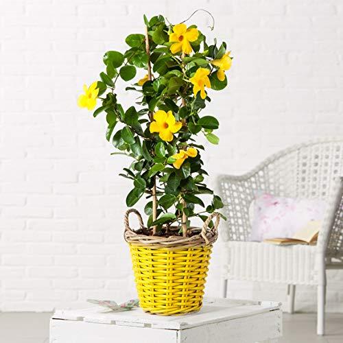 Qulista Samenhaus - Südamerika Rarität Dipladenia in Gelb Bonsai | 100pcs Zimmerpflanzen Blumensamen winterhart mehrjährig für Balkone, Terrassen