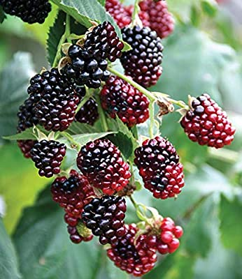 """2 Sweet Sweet Boysenberry Plants- 2 Live Plants-Loganberry Plant Healthy Grown Pesticide Free Non GMO- Each 4"""" to 6"""" Tall"""