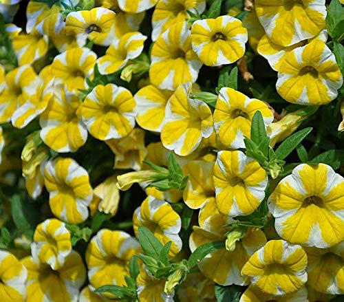 PLAT FIRM KEIM SEEDS: Knapp Rare Lemon Slice Superbells Calibrachoa Petunia Annual Blumensamen 200