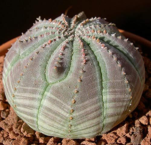 Elwyn 30 Baseball Euphorbia obesa Plant Seeds