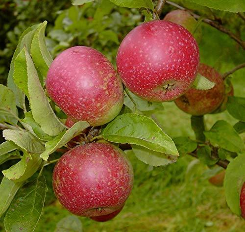 Rote Sternrenette, sehr alte Apfelsorte, Buschbaum (kleinbleibend), 120-140cm im Topf