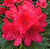 Rhododendron 'Nova Zembla' (Red) in 4L Pot
