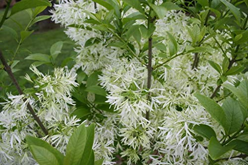 Potseed 3 Fringe Baum Chionanthus virginicus Old MANA € ™ S Beard Weiß Blumensamen * Kämme/H