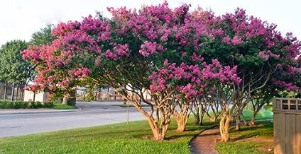 4 Pack - Tuscarora Pink Flowering Crape Myrtle Trees - Quart Pot - Approx. 1 foot tall