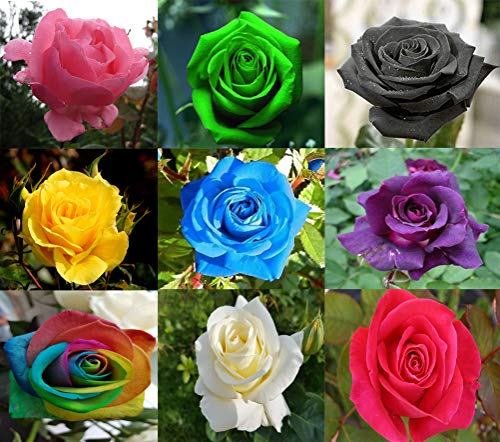 Daisy Garden 100 Pcs Rose Flower Seeds Mixed Multicolored Decorative Rare Plants in Garden Bonsai