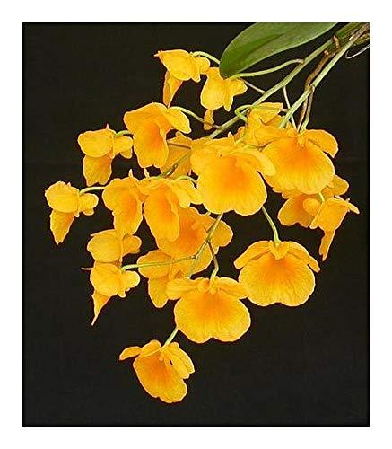 Dendrobium lindleyi - orchidées - 100 graines