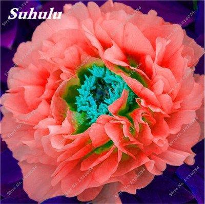 10 Pcs Pivoine graines, semences Potted extérieur, Bonsai Flower Seed, Variété complète, facile à cultiver, d'ornement-plantes pour jardin 21
