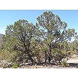 SANHOC Samen-Paket: 50 SINGLEleaf Pinyon Pine Seed Samen, Pinus monophylla -