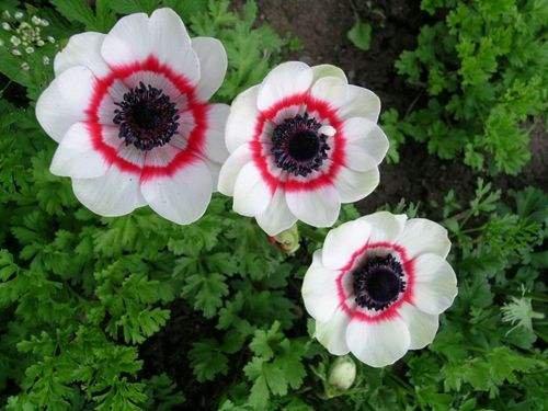 100pcs rouge de fleur de pavot graines Bonsai. graines Papaver ORIENTALE mis en pot rare planting.semillas décoré de jardin maison de flores 14