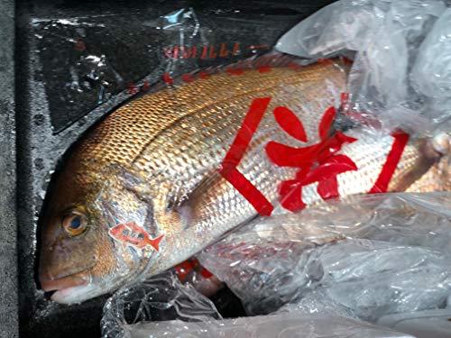特選 天然真鯛 明石産 1尾1~1.5kgサイズ 【明石マダイ1-1.5K】冷蔵 豊洲直送