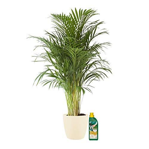 Planta de interior de Botanicly – Palma Areca en maceta crema + 500 ml de fertilizante como un conjunto – Altura: 125 cm – Areca dypsis lutescens