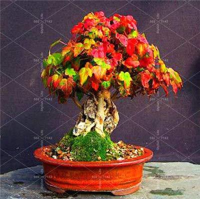 50 PCS Blue Ahornbaum Bonsai Bonsai-Baum Pflanzen, seltener Himmel blau Japanischer Ahorn Balkonpflanzen für Hausgarten: 13