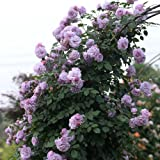 Rosepoem Semillas de Rosas trepadoras, 100 Piezas Semillas de Rosas Multi-Coloridos Balcones Cercas Plantas Decorativas Semillas Flores trepadoras Plantas - Rosa púrpura
